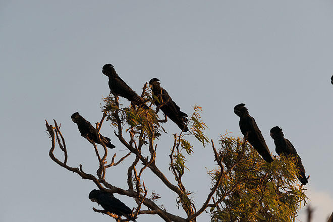 Red Tailed Black Cockatoos on tree