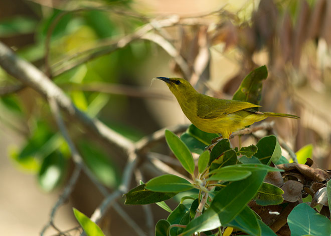 yellow honeyeater australia
