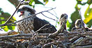 baby ospreys at Thala Port Douglas