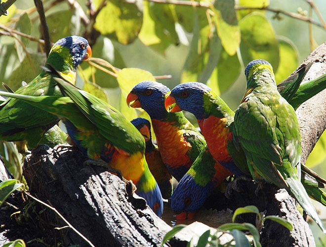 Lunch Guests - rainbow lorikeets