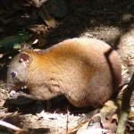 Musky Rat Kangaroo in rainforest