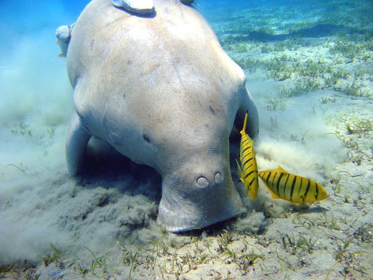 Dugong courtesy of creative commons