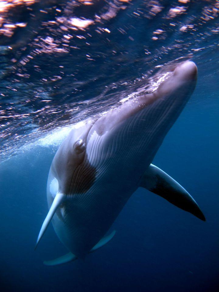 Dwarf minke whale makes a close approach. Photo: Rob Prettejohn