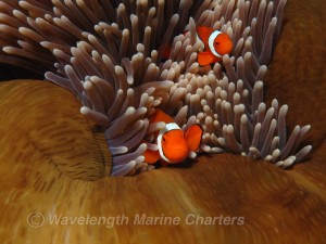 Clown fish and anemone on Great Barrier Reef Queensland Australia Photo Wavelenght Marine Charters
