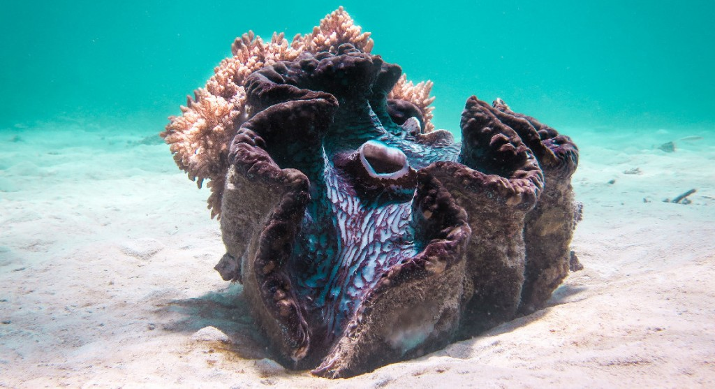 Giant clam shell Great Barrier Reef, Queensland Australia Photo Tourism & Events Queensland
