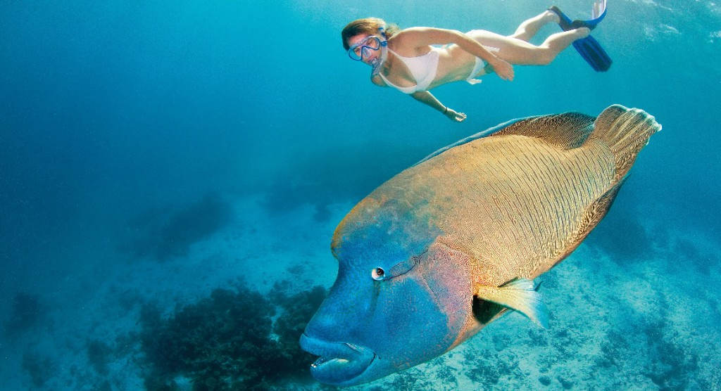 Maori Wrass fish Great Barrier Reef, Queensland Australia Photo Tourism & Events Queensland