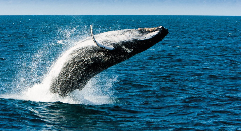 Whale breaching on Great Barrier Reef, Queensland Australia. Photo Tourism & Events Queensland