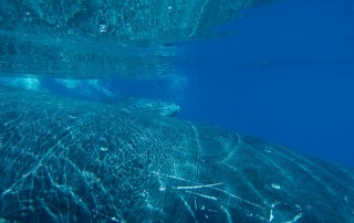 Humpback whale song Great Barrier Reef Photo Thala Beach Nature Reserve