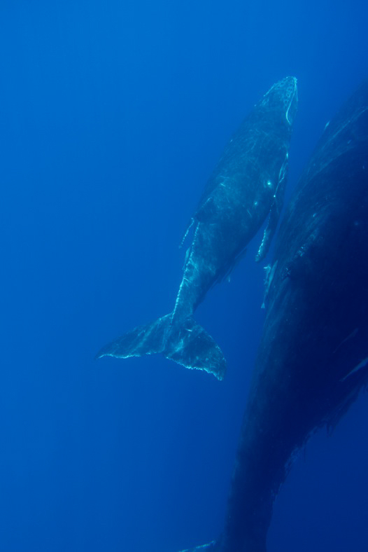 Humpback whale watching on Great Barrier Reef Photo Thala Beach Nature Reserve