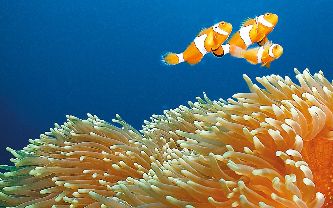 Nemo family and anemone. Image Tourism Events Queensland