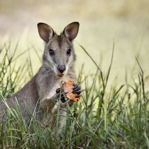 Wallaby, photo credit Aurelie Amot