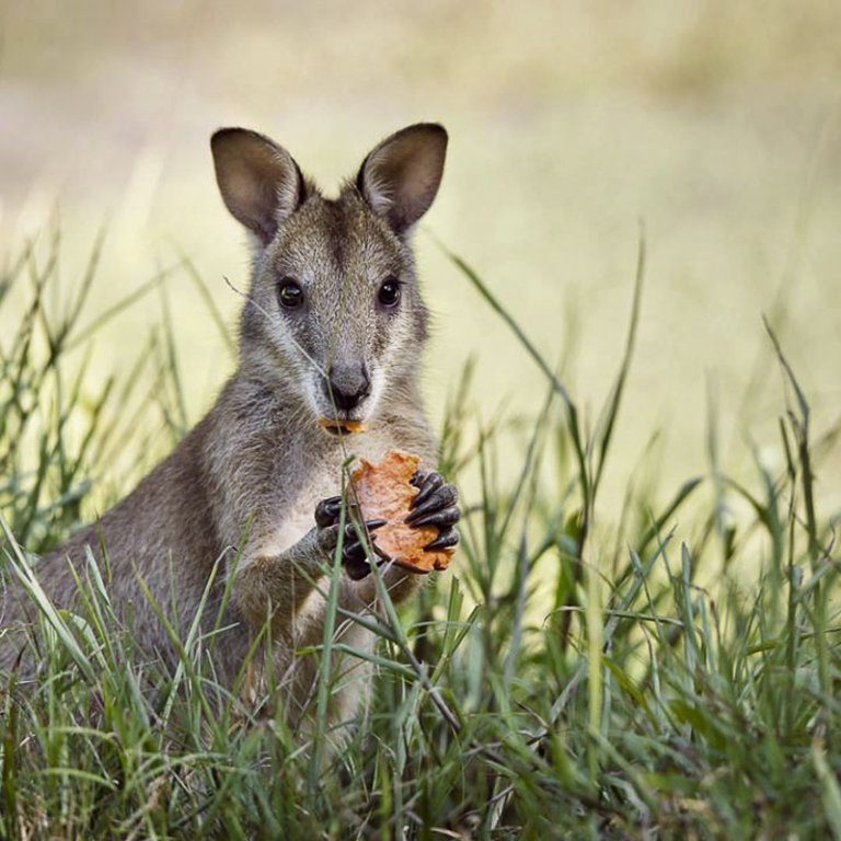 Wallaby, photo credit Aurelie Amot