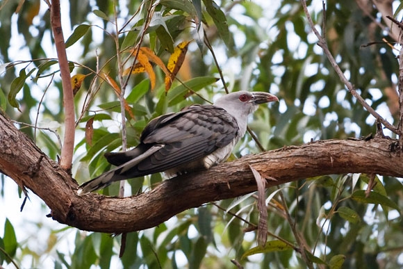 Channel billed cuckoo. Photo Birdlife