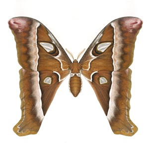 Hercules Moth adult male