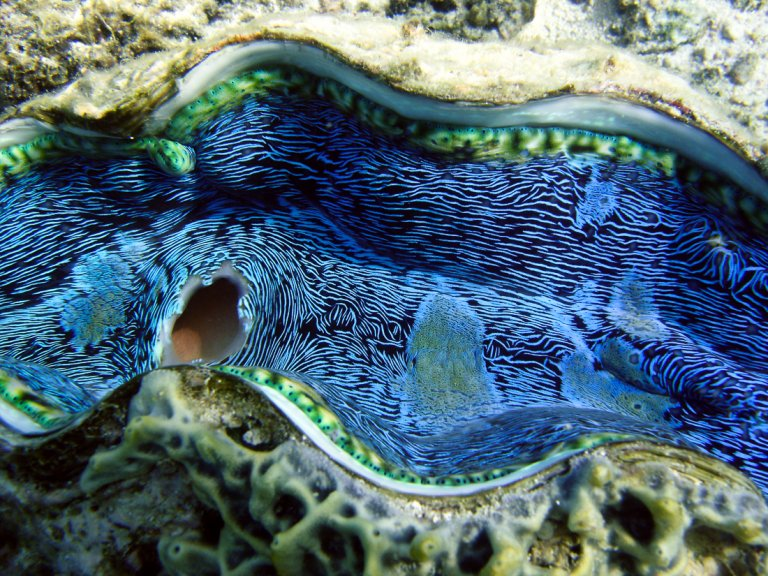 Giant clam mantle | Great Barrier Reef