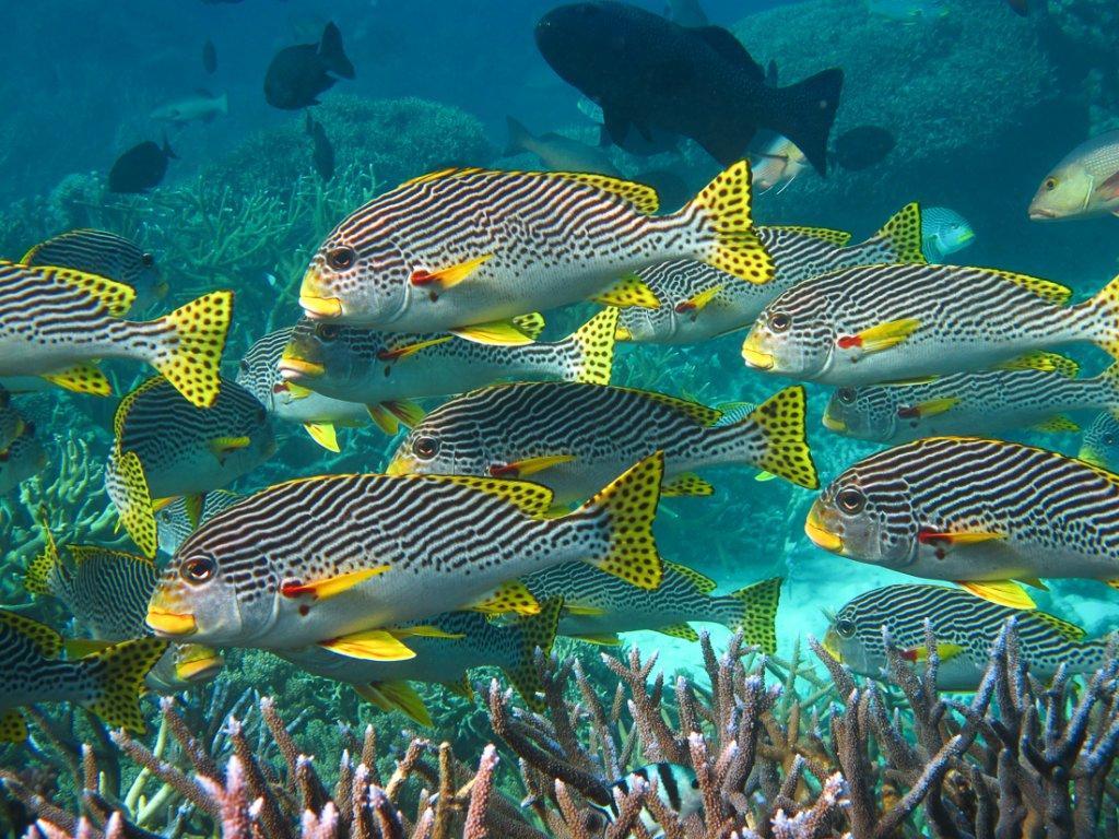 Diagnol banded sweetlips | Great Barrier Reef