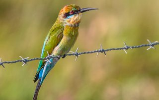 Rainbow bee eater | Photo Phil and Sue Green