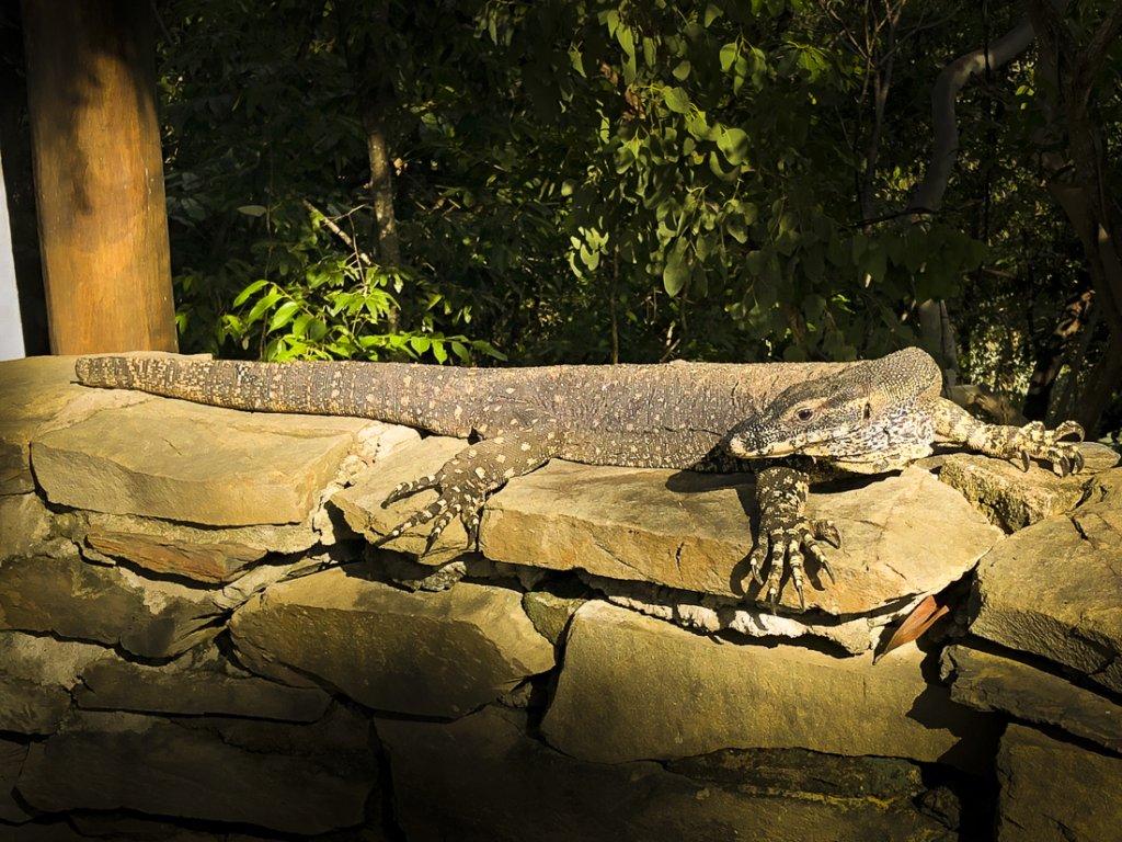 Lace monitor lizard | Thala Beach Nature Reserve