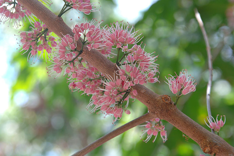 flower of Euodia tree at Thala Beach Nature Reserve